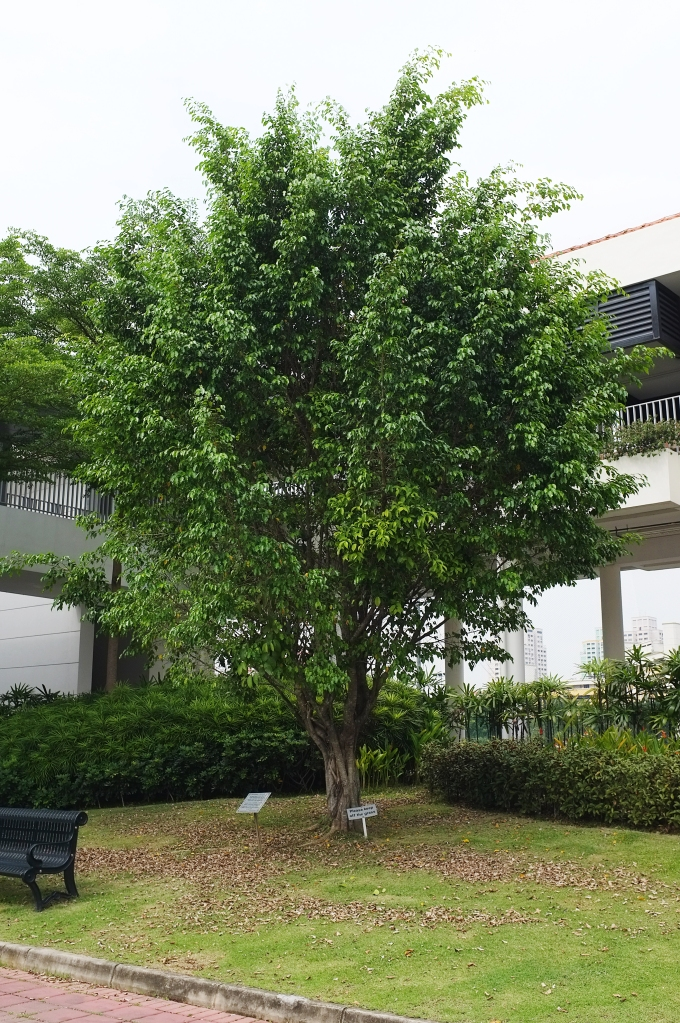 The Banyan tree outside the Year 1–4 canteen
