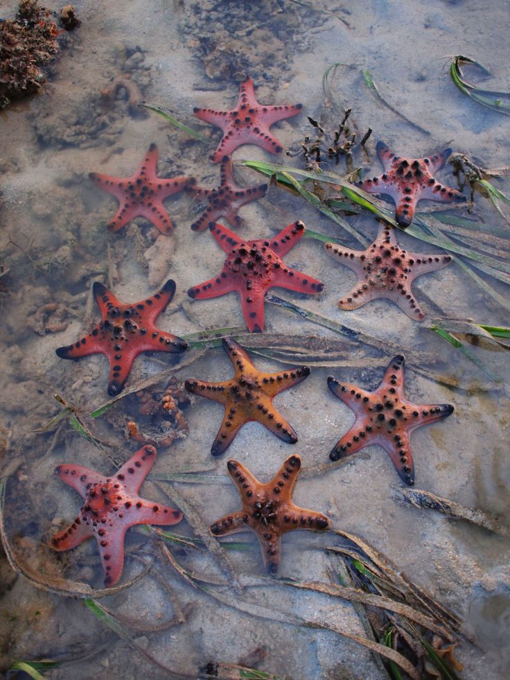 Not a common sight on mainland shores, Knobbly Sea stars are quite commonly seen in the southern islands. This shot was taken at Cyrene Reef, a submerged reef that persists despite lying in the middle of the 'Industrial Triangle', surrounded by petrochemical plants on Pulau Bukom, massive heavy industries on Jurong Island and world class container terminals at Pasir Panjang.