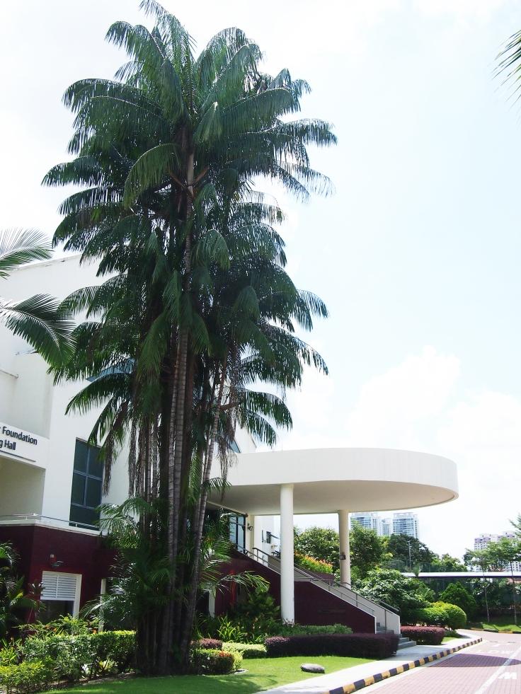 Nibong palm