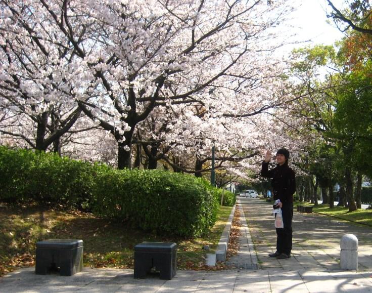 Sakura in full bloom in Saga City, Saga Prefecture