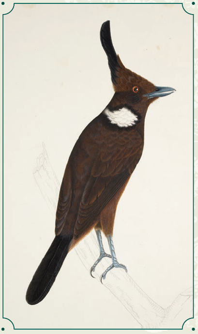 Crested Jay (Platylophus galericulatus) is found in Brunei, Indonesia, Malaysia, Myanmar, and Thailand. Its natural habitats are subtropical or tropical forests but is today threatened by habitat loss through logging. © British Library Board/NHD47.29