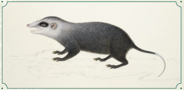 The Moonrat (Echinosorex gymnura), a large Southeast Asian insectivore that is essentially a tropical hedgehog with a long tail and fur instead of spines. Despite their name, moonrats are not rodents, although they have a slim body, small unpigmented ears, small eyes, and a tapered muzzle with long whiskers. The moonrat is found on the Malayan Peninsula, the Indonesian islands of Sumatra and Borneo, and the island of Labuan, where it inhabits lowland rainforests and mangrove forests. © British Library Board/NHD47.46