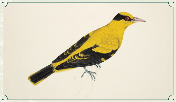 "The Black-naped Oriole (Oriolus chinensis) has a yellow-and-black plumage that has often led to it being mistakenly called the Golden Oriole (Oriolus oriolus), another species found in India and China. It was featured on the S$500 notes of the ""Bird Series"" currency notes issued by the Monetary Authority of Singapore between 1976 and 1984. Records show that a large breeding population has existed in Singapore since the early 1920s. © British Library Board/NHD47.23"