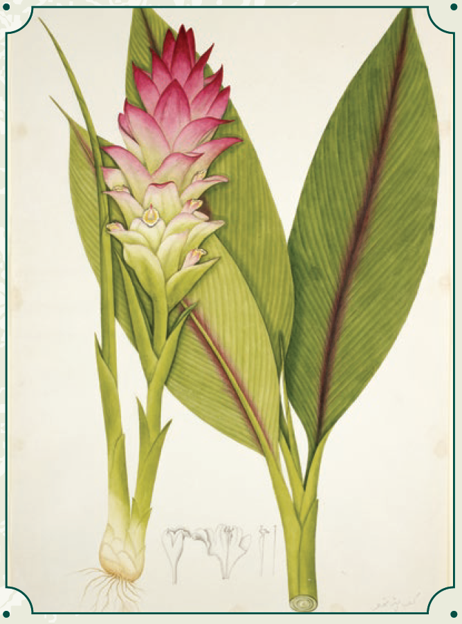 Javanese Turmeric (Curcuma Xanthorrhiza), also known as kunyit in Indonesia and temu lawak in Malaysia, has a wide range of culinary uses, and is a key component of curry powder. Turmeric has been used as a substitute for saffron and was even known as Indian Saffron. © British Library Board/NHD48.08